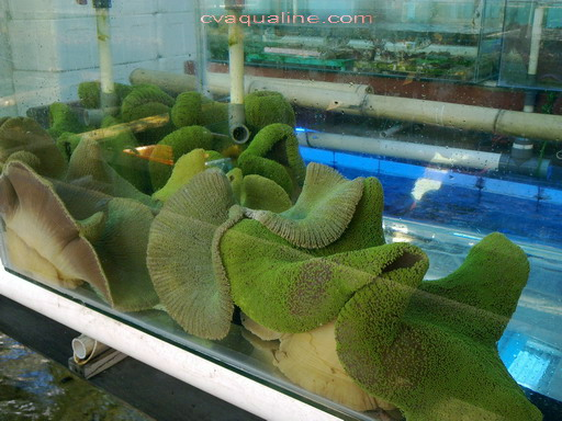 Green Carpet Anemone - Carpet Vidalondon
